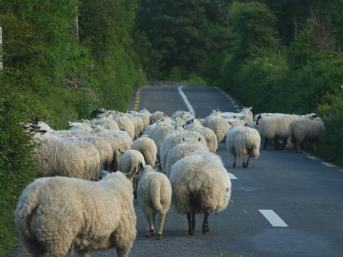 For desired results, nudge the sheep along.  Photo courtesy PDPhoto.org