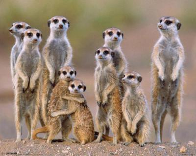 Anonymous Meerkats Family