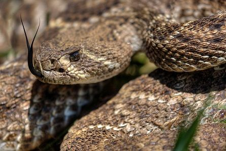 Western Diamondback Rattlesnake (Crotalus atrox) by Ralph Arvesen-Flickr (CC BY-ND 2.0)